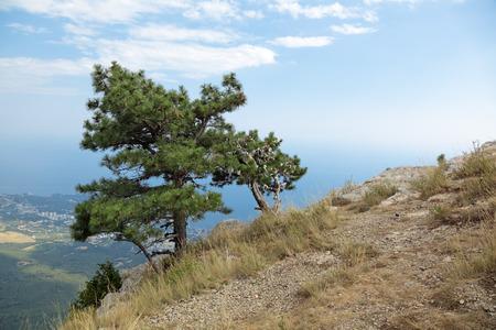 lone pine: Lone pine on top of mount Ai-Petri, Yalta Municipality, Republic of Crimea, Russia