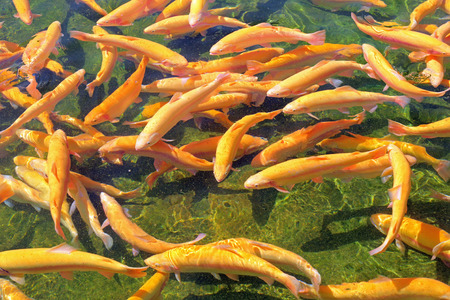 salmonidae: Adult amber trout in an artificial pond Stock Photo