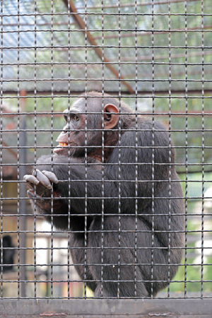 seclusion: Adult chimpanzee sitting in a cage