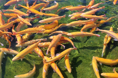 Adult amber trout in an artificial pond Stock Photo
