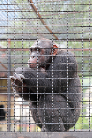 seclusion: Sad chimpanzee sitting in a cage