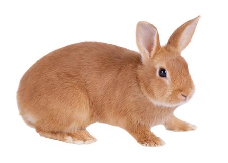 Dwarf rabbit, isolated on white background Stock Photo