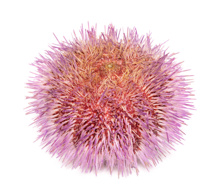 calcareous: Echinus esculentus - the edible sea urchin or common sea urchin, is a species of marine invertebrate in the Echinidae family