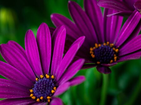 Close-up of a Osteospermum, or African daisy, flower. Purple, macro