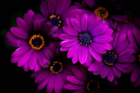 Close-up of a Osteospermum, or African daisy, flower. Purple, macro photography -dramatic and moody