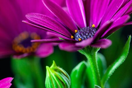 Close-up of a Osteospermum, or African daisy, flower. Purple, macro photography Stok Fotoğraf