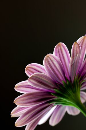 Close-up of a Osteospermum, or African daisy, flower. Purple, macro photography 写真素材
