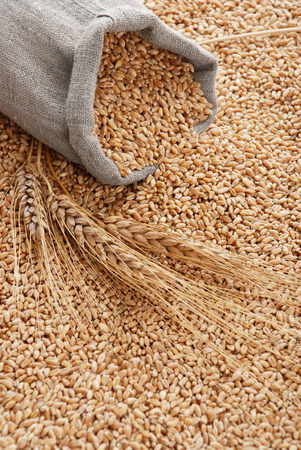 wheat grain: The scattered bag with wheat on a background of a grain