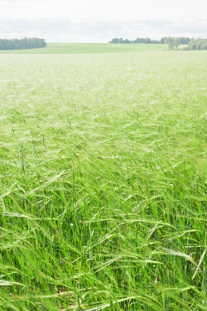 Field with green wheat in a sunny day photo