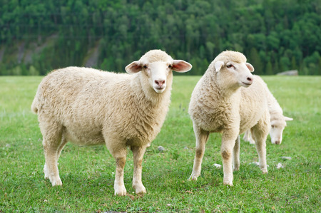 Three sheep grazing in a meadow in the mountains