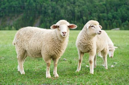 pecora: Tre pecore al pascolo in un prato in montagna