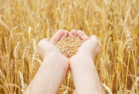 Grain of the wheat in hands of the person on a background of a wheaten field Banco de Imagens