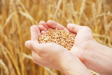 Grain of the wheat in hands of the person on a background of a wheaten field Imagens