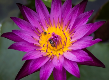 The violet lotus in the river photo