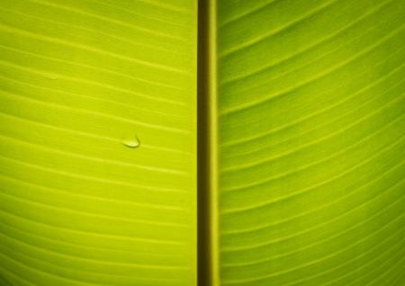 The green leaf of banana Stok Fotoğraf - 16404503
