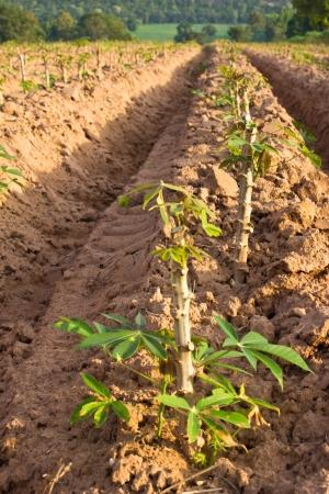 potato tree: Potato farm in countryside of Thailand