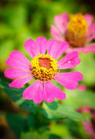 tree marigold: pink flower in green garden