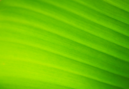 The green background of bananas leaf photo