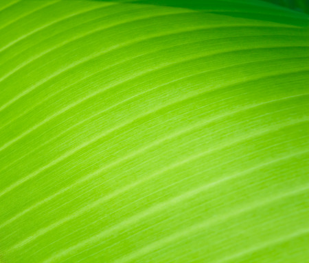 leaf pattern: green banana leaf background
