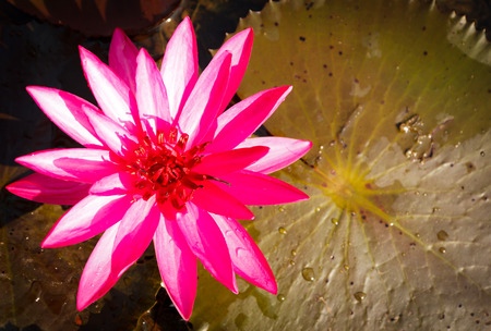 pink lotus in long river photo