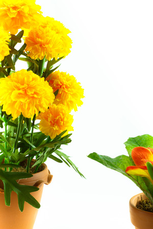 marigold and small flower with white background photo