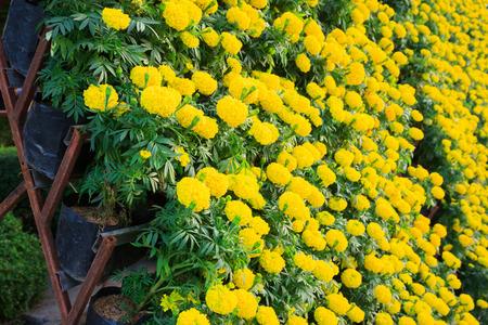 tree marigold: yellow marigold flower in garden