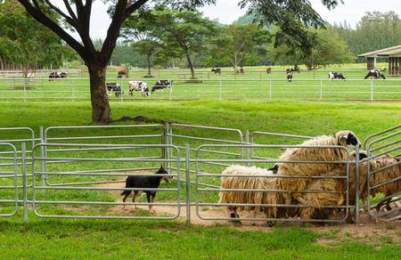 herding: dog herding sheep in farm Stock Photo