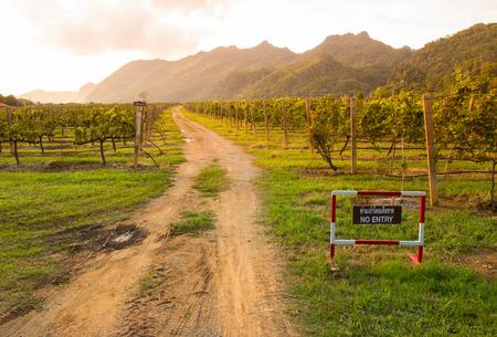 long way: long way between vineyard,Pakchong Thailand