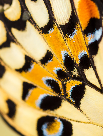 color butterfly: colorful texture on butterfly wing