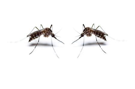 two black mosquito on white background Zdjęcie Seryjne