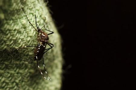 gnat: black mosquito on green fabric Stock Photo