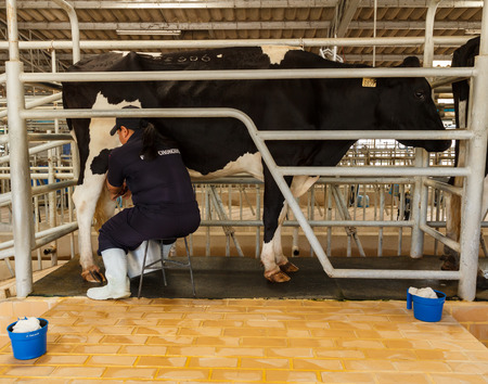 teat: Nakhonratchasima,Thailand- August 11, 2014 : official show  milking from milk cow at Chokchai farm  Pakchong, Nakhonratchasima , Thailand.