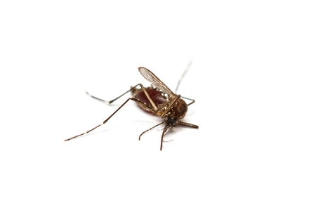 gnat: dead black culex mosquito on isolated background
