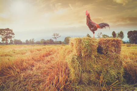 morning  cock: cock standing rice straw in farm with sunlight morning