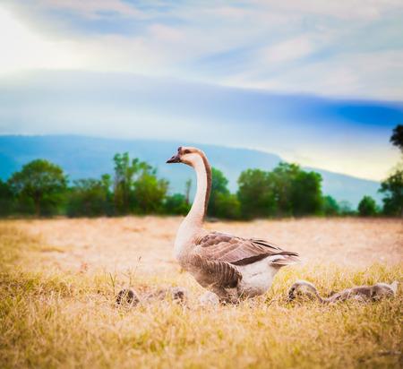 goose: mum goose with babies goose inside farm with sunshine morning