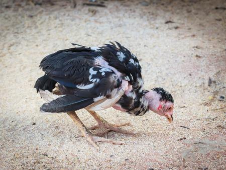 sick little chicken on the ground Stok Fotoğraf - 53748552