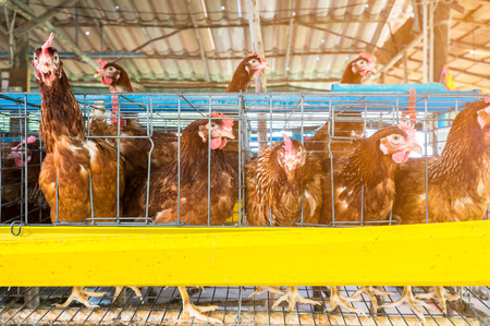 chicken cage: laying chicken in cage at organic farm Stock Photo