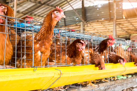 La pose de poulet dans une cage à la ferme biologique Banque d'images - 70606399
