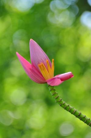 Blüte der Bananenbaum
