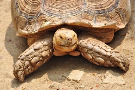 sulcata Schildkröte