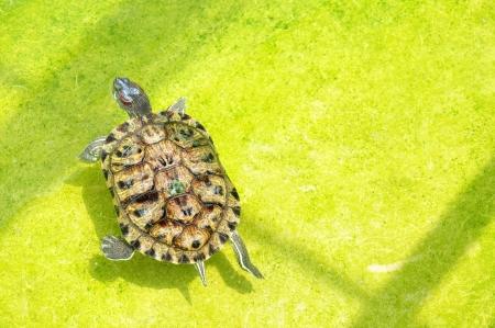 Turtle Floating im Teich Standard-Bild