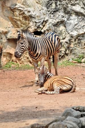 Zebra Standard-Bild
