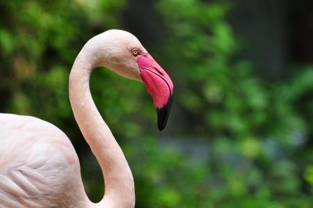 Flamingo Standard-Bild