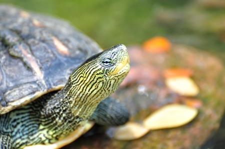 Schnappschildkröten