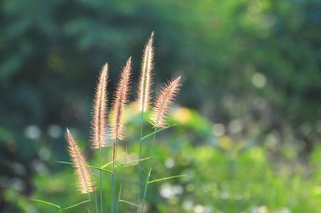 Gras Blume