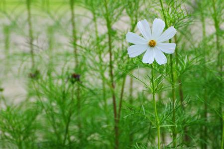 weiße Blume Standard-Bild