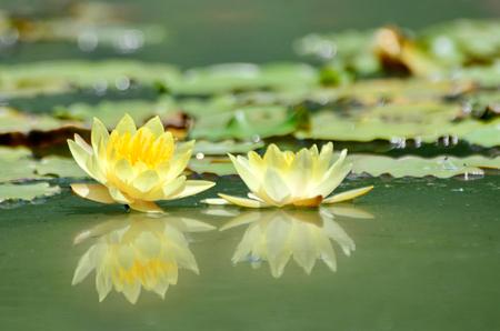Gelbe Lotus
