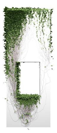 Growing ivy. Up grow