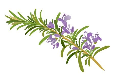 rosemary flower: rosemary