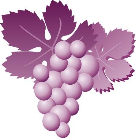 sommelier: cluster of purple grapes Illustration